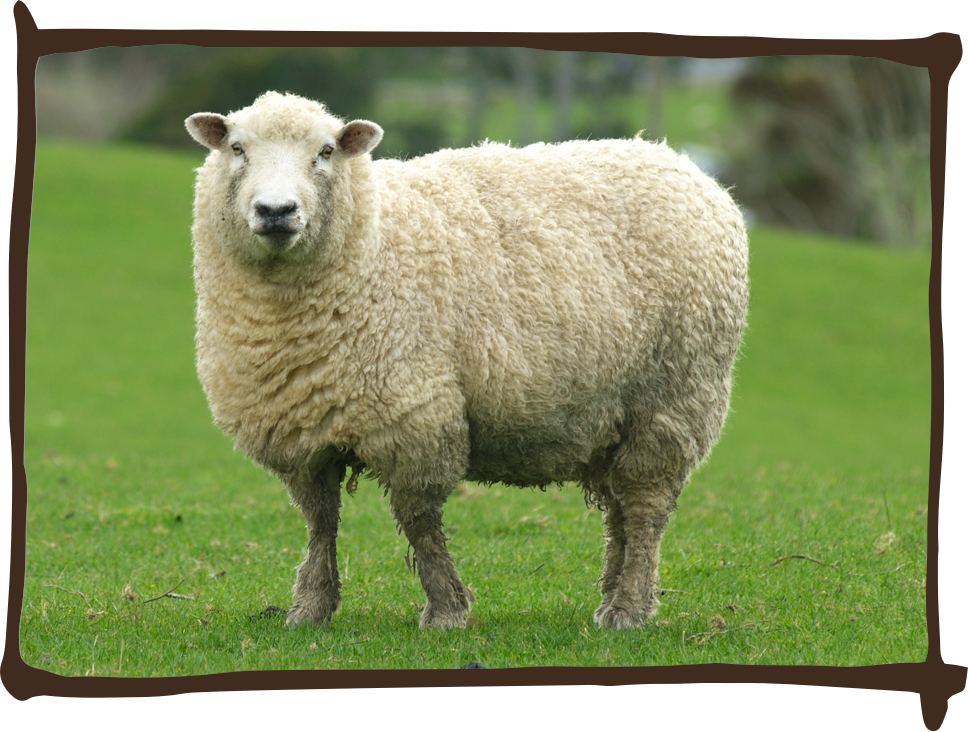 Picture of a sheep